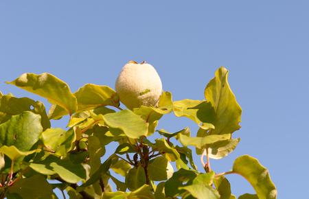 membrillo: Quince crece en �rbol en el huerto