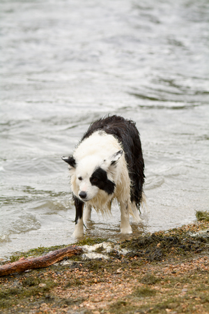 the thrown: Border collie dog waiting for ball to be thrown into lake Stock Photo