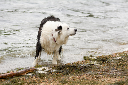 dog waiting: Border collie dog waiting for ball to be thrown into lake Stock Photo