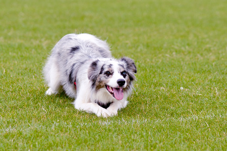 Blue merle collie dog in park