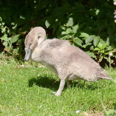 cygnet: Cygnet swan cyngus olor in park