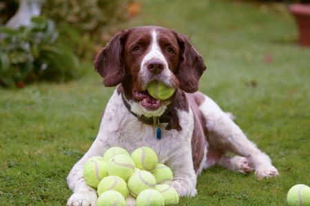 tennis balls: English springer spaniel dog hoarding tennis balls