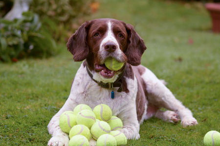 TENIS: Springer spaniel Inglés pelotas de tenis perro acaparamiento