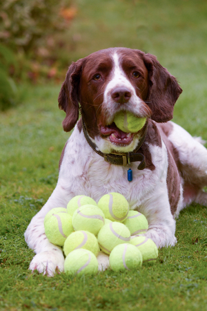 English springer spaniel dog hoarding tennis balls