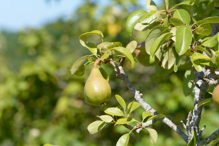 riped: Pear growing on tree in orchard