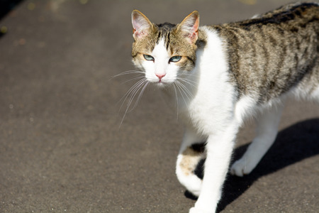 meowing: Tabby cat in sunshine