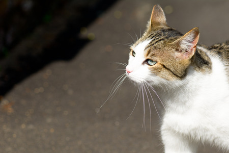 meowing: Tabby cat outside in sunshine Stock Photo