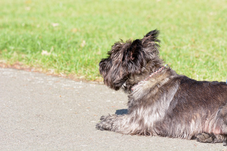cairn: Cairn Terrier dog lying on pavement in park