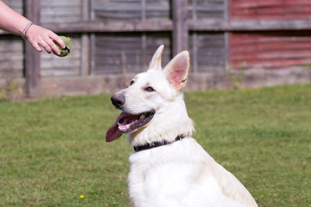 german shepherd dog: German Shepherd dog waiting for tennis ball to be thrown