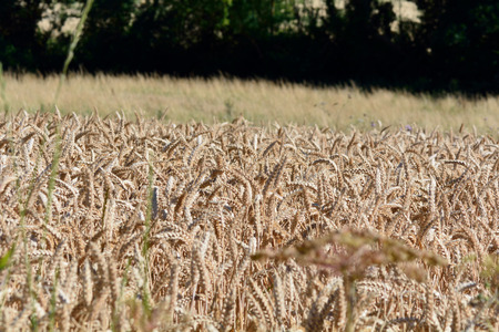 french countryside: Wheat field in French countryside Stock Photo