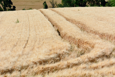 french countryside: Wheat field with tractor tyre tracks in French countryside