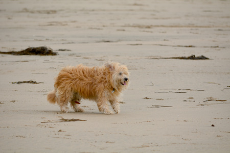 windswept: Dog being walked on beach with windswept fur Stock Photo