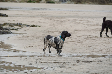 springer spaniel: Wet springer spaniel dog on beach Stock Photo