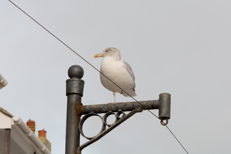 telegraaf: Seagull on telegraph post in St Ives Cornwall England