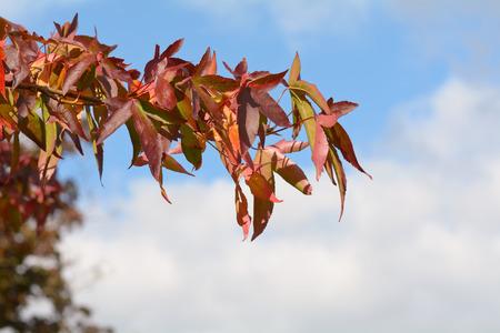 colour in: árbol de liquidámbar hojas - colores vibrantes en el otoño