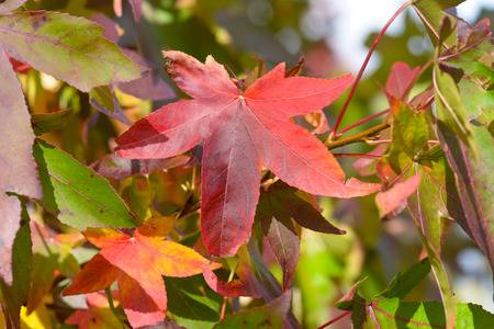 colour in: Sweetgum tree leaves - vibrant color in fall
