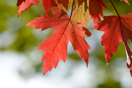 vibrant color: Maple tree leaves - vibrant color in fall Stock Photo