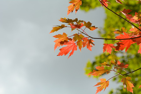colour in: Maple tree leaves - vibrant color in fall Foto de archivo
