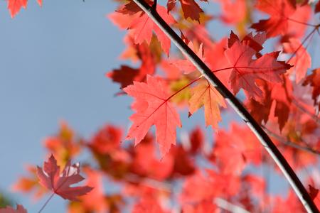 colour in: Árbol de las hojas de arce - color vibrante en el otoño