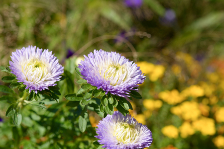 aster: Aster flowers Stock Photo