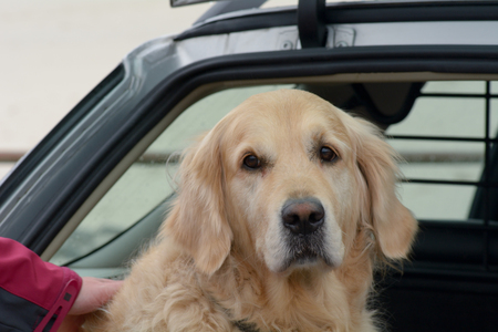 walk in: Labrador dog in car about to go for walk on beach