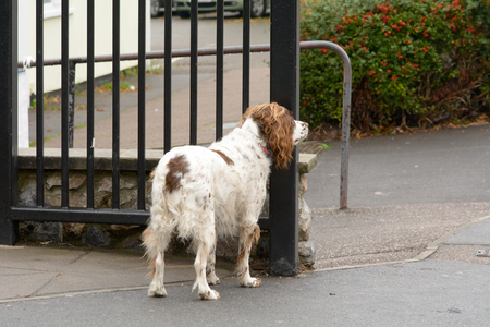 springer spaniel: Springer spaniel dog tied to railings outside shop with high risk of theft
