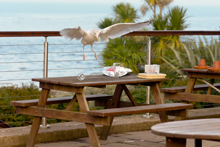 scavenging: Seagull stealing food from plate on table in cafe