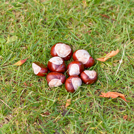 conkers: Conkers on grass in autumn Stock Photo