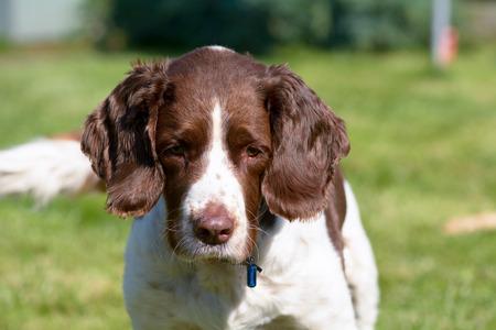 spaniel: English Springer Spaniel dog portrait