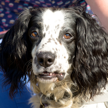familiaris: English Springer Spaniel dog portrait