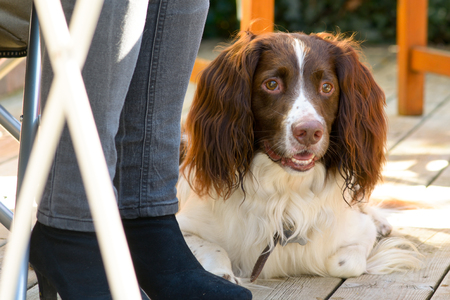springer spaniel: English Springer Spaniel dog lying down at owners feet