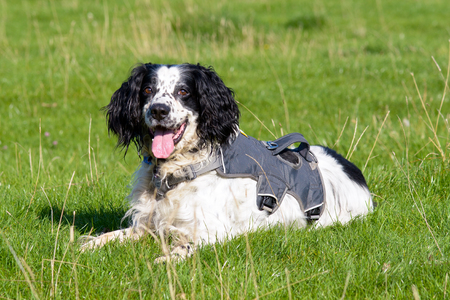springer spaniel: English springer spaniel dog in field Stock Photo