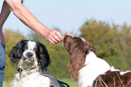 springer spaniel: English springer spaniel dog being given treat Stock Photo