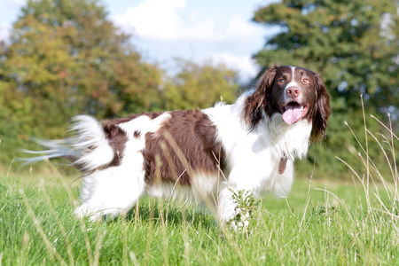familiaris: Springer Spaniel dog standing in field