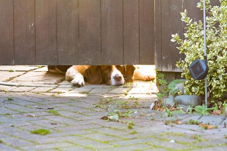 familiaris: Springer Spaniel dog looking underneath gate