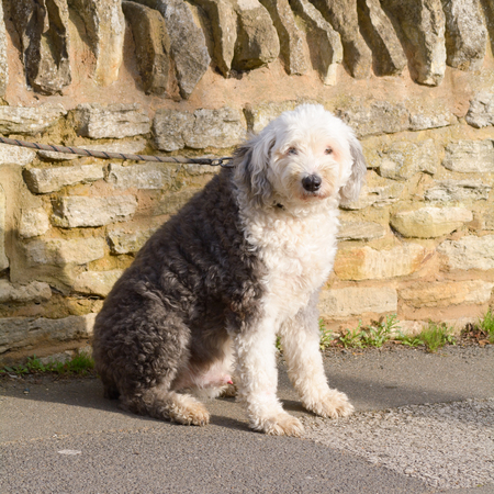 sheepdog: Old English Sheepdog
