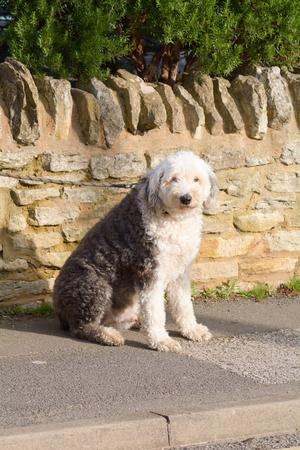 familiaris: Old English Sheepdog