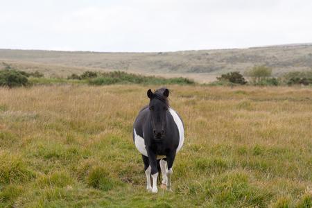 devon: Dartmoor pony on moorland in Devon, England