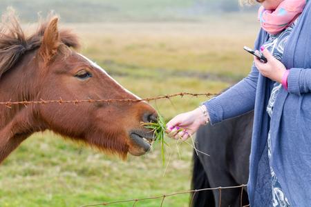 moorland: Dartmoor pony being fed grass on moorland in Devon, England