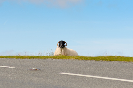 Blackface sheep lying down besides road