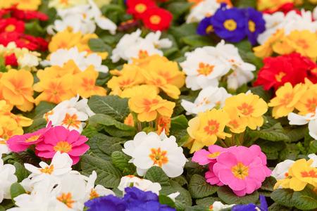 vulgaris: Primrose primula vulgaris flowers Stock Photo