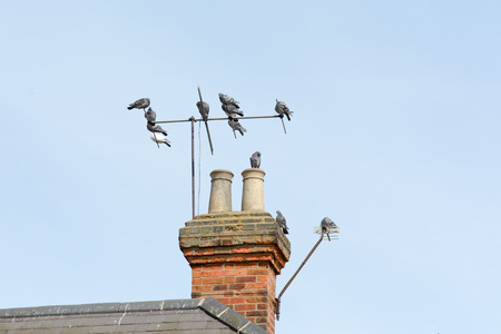 perched: Pigeons perched on tv aerial on roof of house