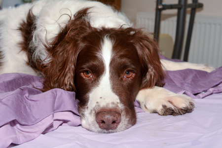 springer spaniel: English Springer Spaniel dog lying on bed