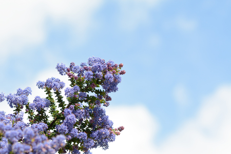 californian: Californian Lilac plant