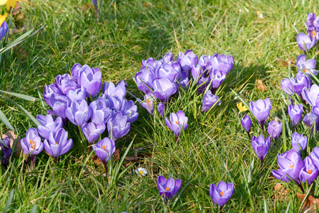 Crocus flowers in field Stock Photo