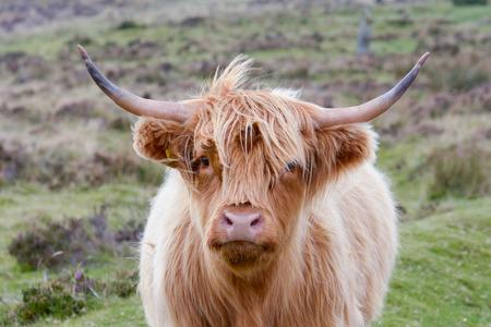 Highland Kuh