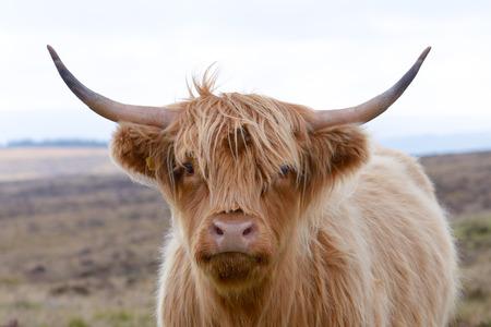 Highland Kuh Standard-Bild
