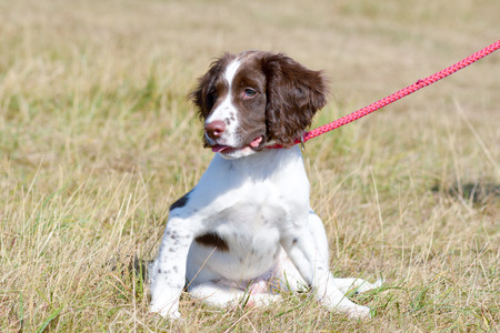 English springer spaniel puppy on lead