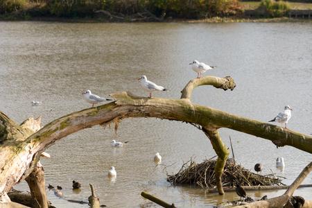 ridibundus: Black-headed gulls perching on tree at edge of lake Stock Photo