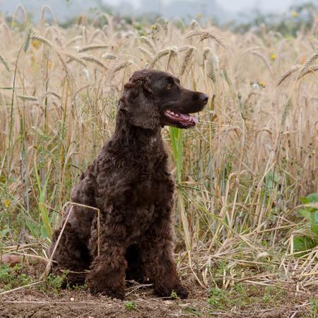 Cockapoo dog sitting in field Stock Photo